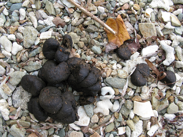 Donkey Scat Picture