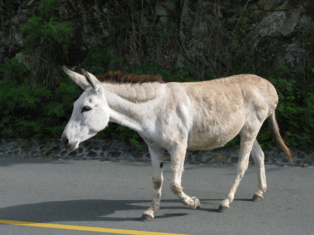 Donkeys Obstructing Traffic Picture