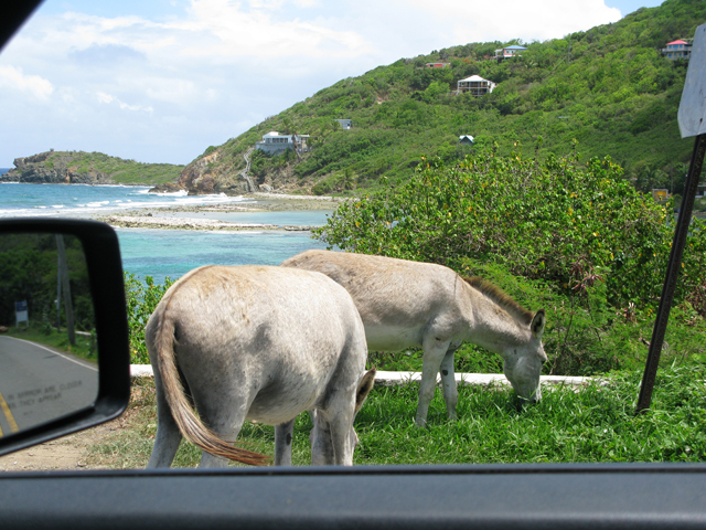 Donkeys Obscuring the View Picture