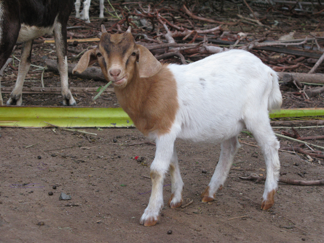 Cute Little Goat Picture